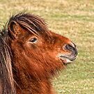 Shetland Pony in the New Forest by Dave  Knowles