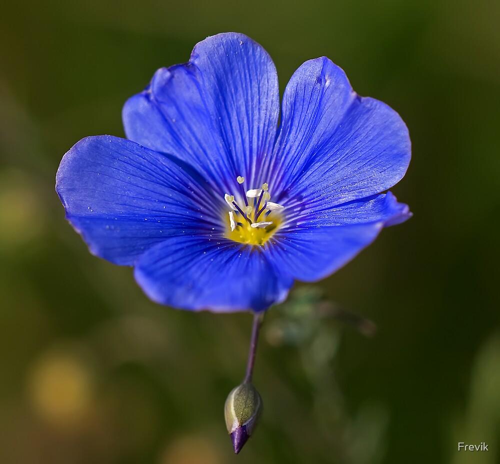 Blue flower by Frevik