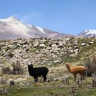 Alpacas in Chile by off-the-maps