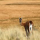 Guanaco in the pampa by off-the-maps