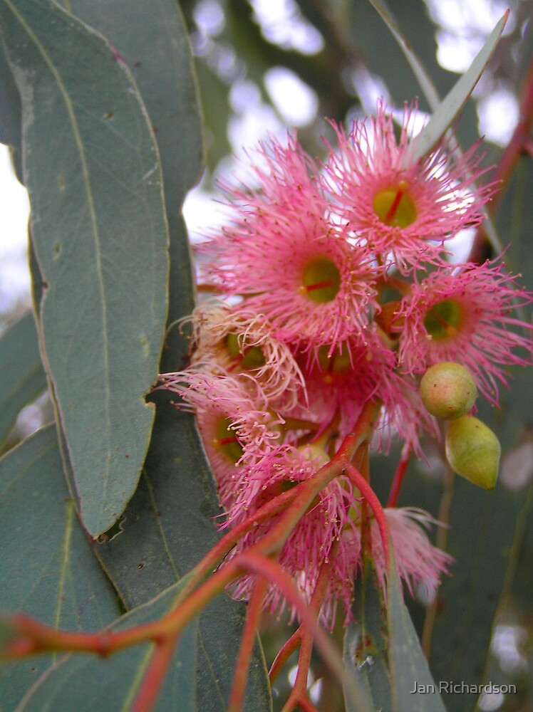 Mugga Ironbark Blossom by Jan Richardson