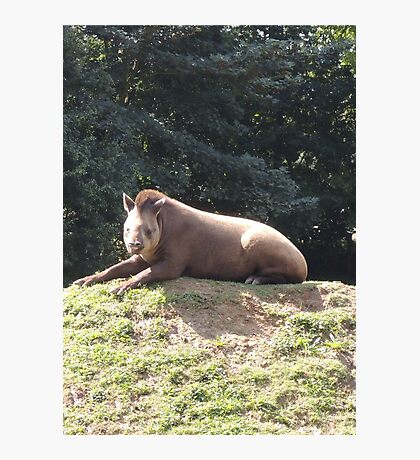 Tapir To The Top and Smile Photographic Print