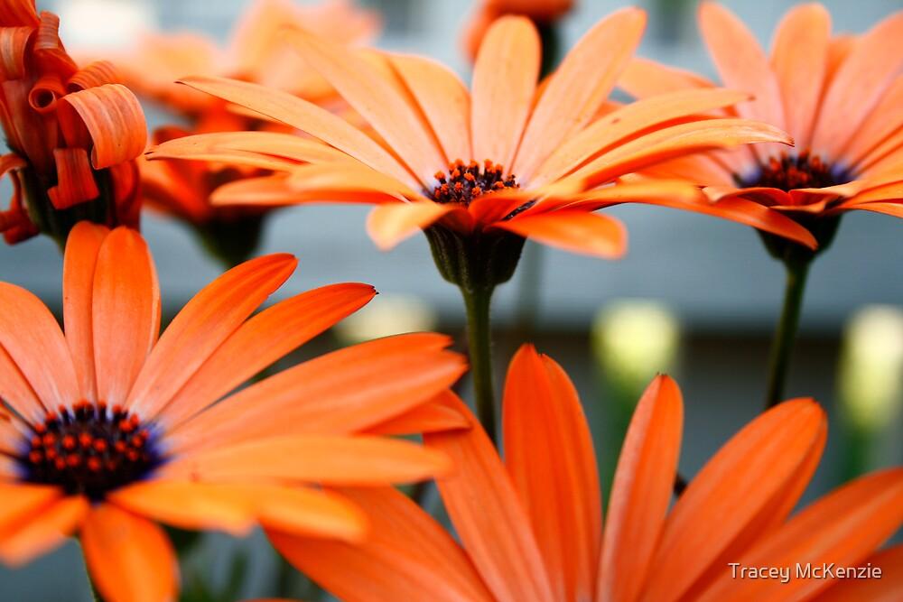 Orange Daisy Heaven by Tracey McKenzie