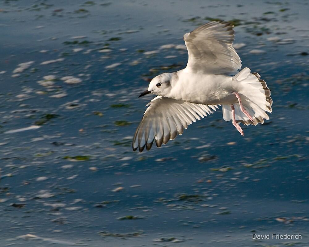 Small Gull by David Friederich