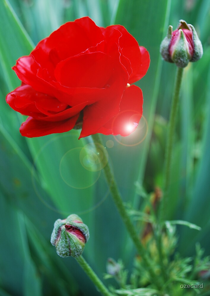 Ranunculus by ozecard