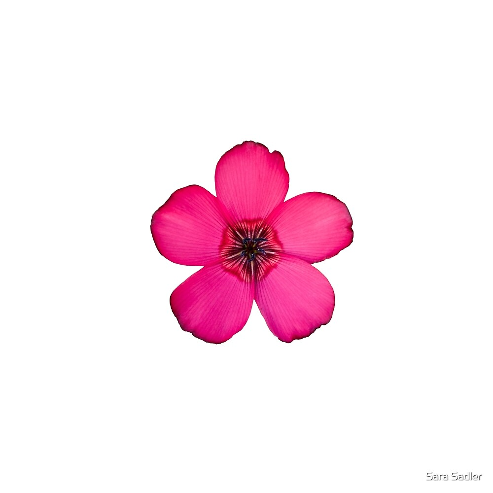 Red Flax flower by Sara Sadler