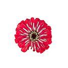 Red Zinnia Flower by Sara Sadler