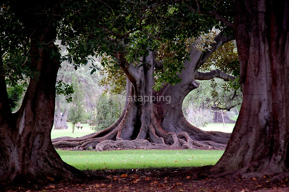 Moreton Bay Fig Adelaide Botanic Gardens by patapping