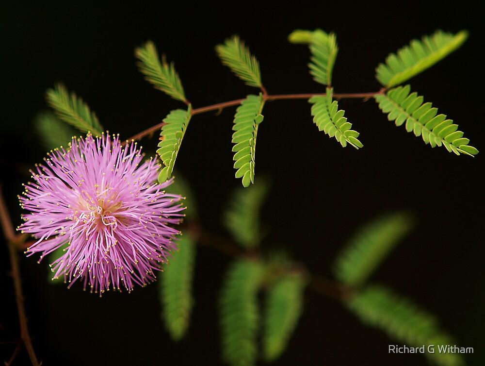 Bashful Blush by Richard G Witham