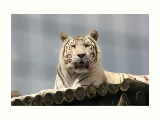 White Tiger Portrait by Vicki Spindler (VHS Photography)
