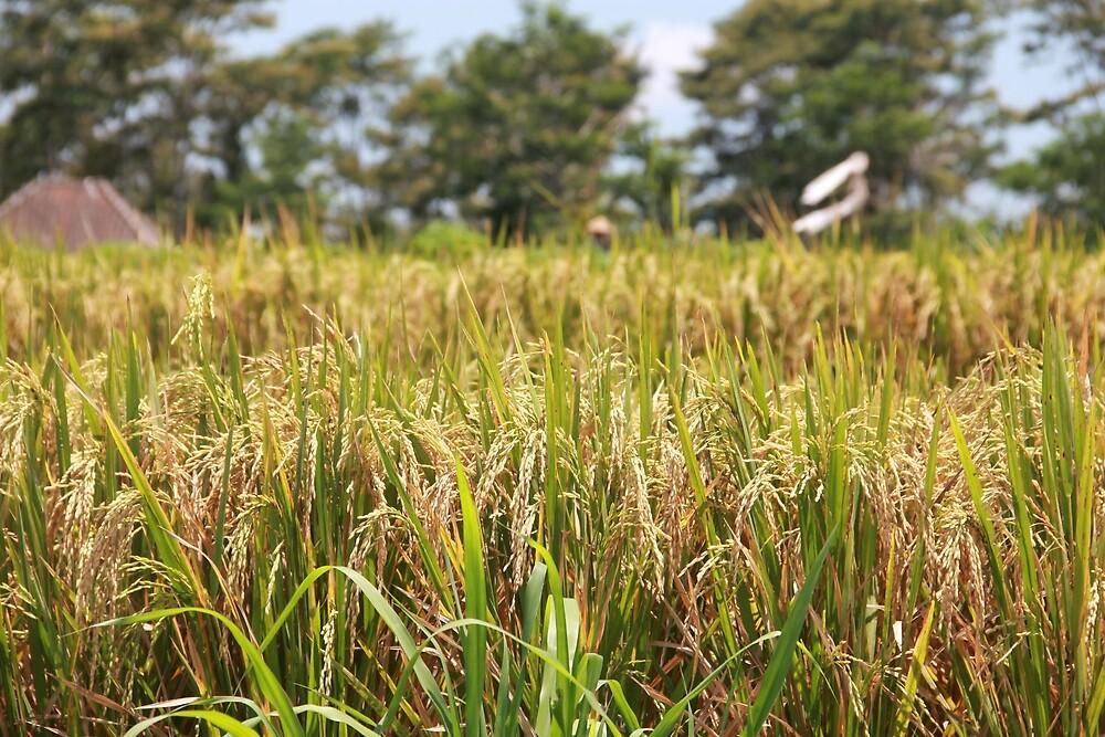Rice Field, Ubud.  by Michael Stocks