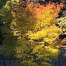 Time Changes - Japanese Maple caught in the sunlight by Fay270