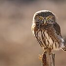 Pygmy Owl 1 by Tracy Friesen
