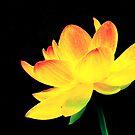 Last Lotus HDR by velveteagle