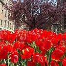 Colorful Tulips, March, Murray Hill, New York City by lenspiro