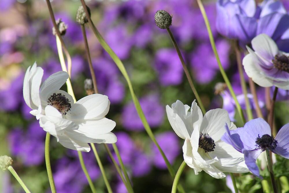 anemones by Marilylle  Soveran