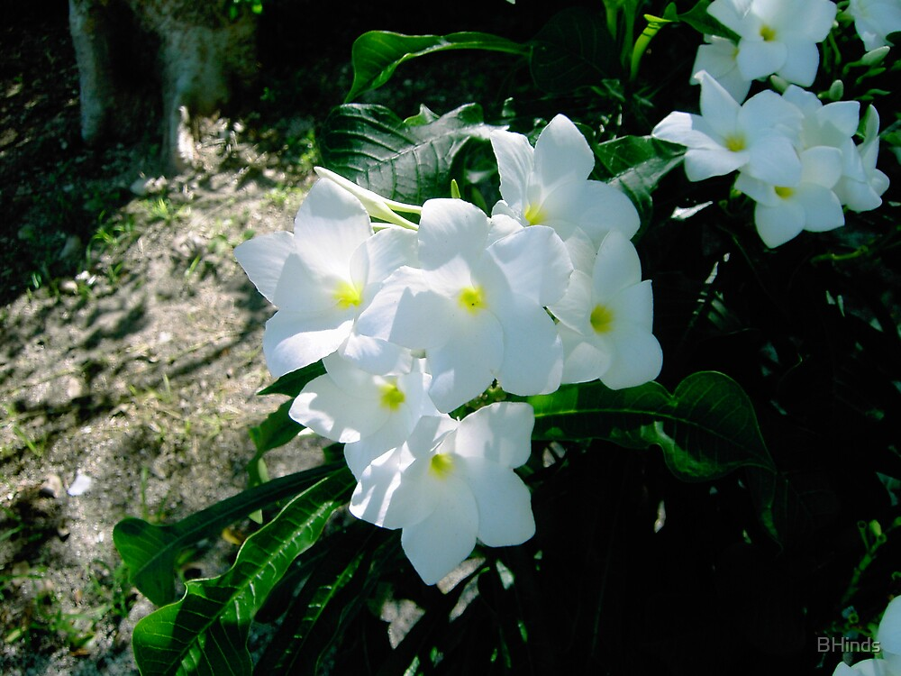 White Flowers by BHinds