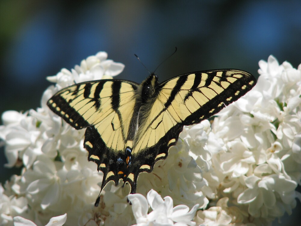Papilio by JohnEvans