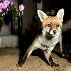 Paparazzi Snap Fox!  by John Hooton
