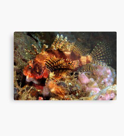 Dwarf Lionfish Metal Print