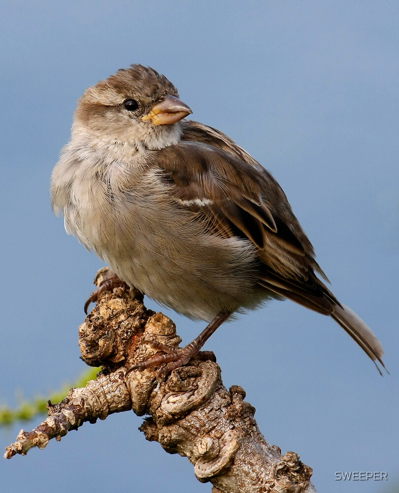 Juvenile Female Sparrow by SWEEPER