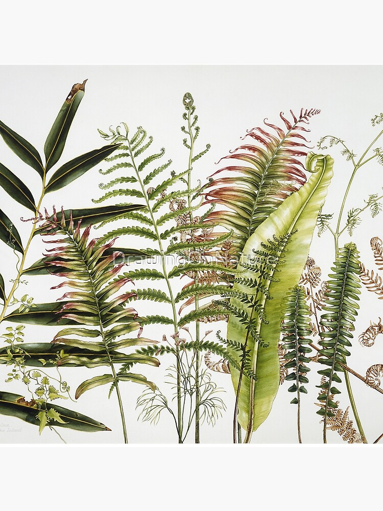 Australian Ferns by DrawingOnNature