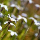 Star White Flowers Dancing by Joy Watson