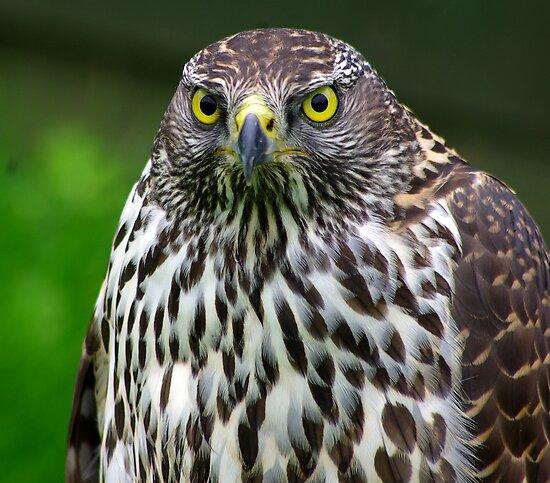 Falcon #1 by Trevor Kersley