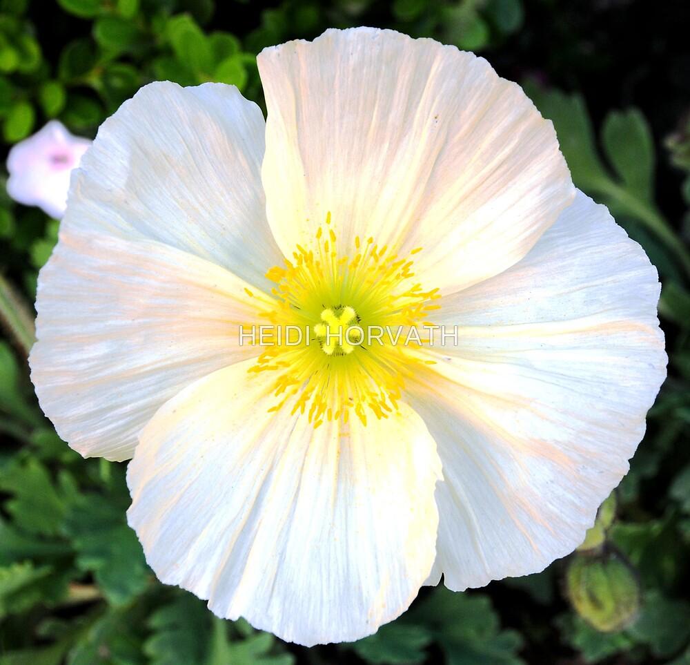 White California Poppy! by HEIDI  HORVATH