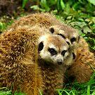 Meerkat #5 by Trevor Kersley