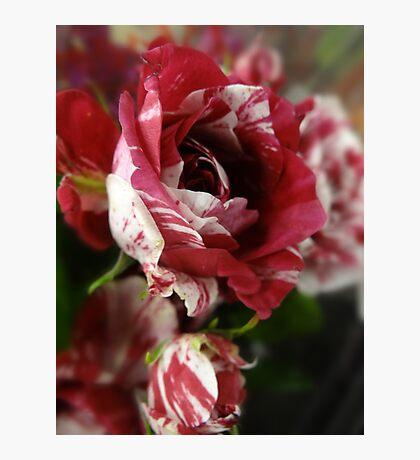Striped Rose Fotodruck