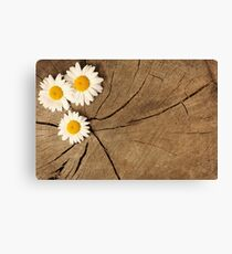 Daisies on wooden background Canvas Print