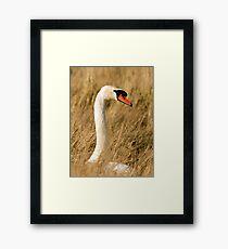 Beautiful Female Mute Swan Portrait Framed Print