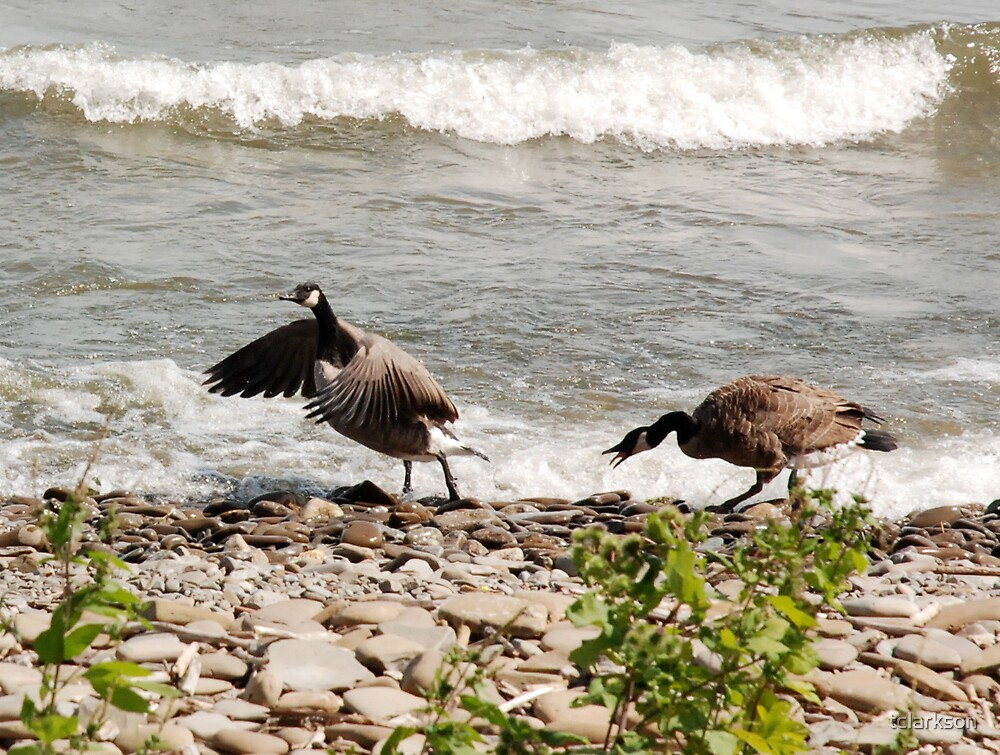 grumpy geese by tclarkson