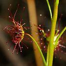 Drosera peltata by Biggzie