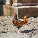 Poultry with an Attitude  by ArtbyDigman