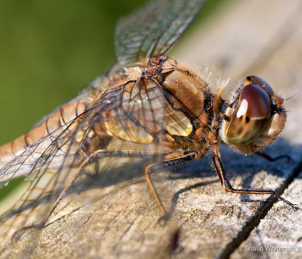 Dragonfly at Martin mere by Shaun Whiteman