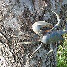 Blue Crab  - Key West Florida by sunnykcdb