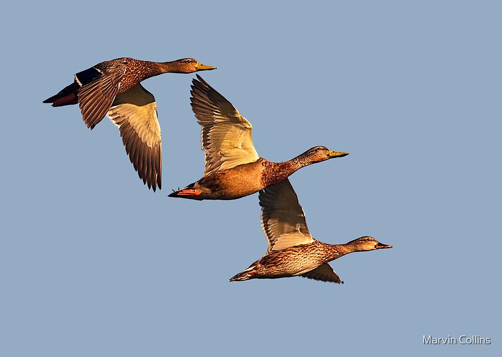 Wild Ducks by Marvin Collins