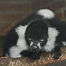 Black-and-White Ruffed Lemur by Anne-Marie Bokslag