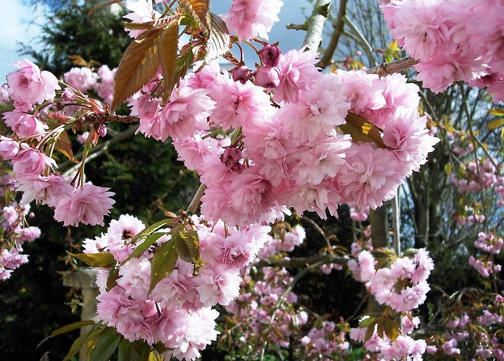 Cherry Blossom by Braedene