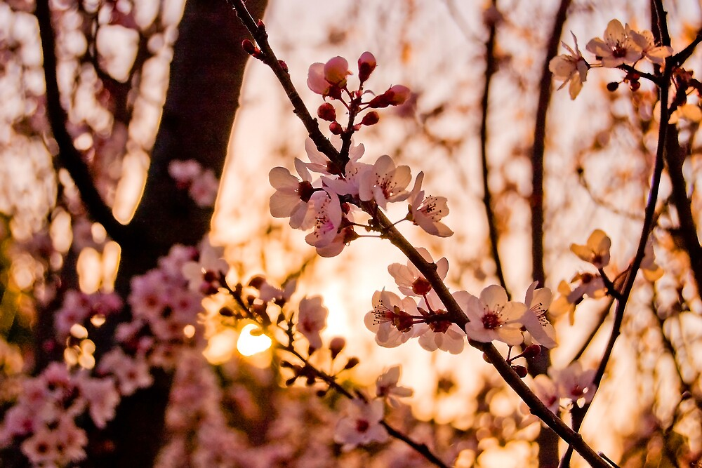 Sunset Through the Blossoms by Lyn  Walkerden