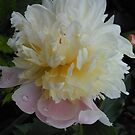 Cream Peony  by Kashmere1646