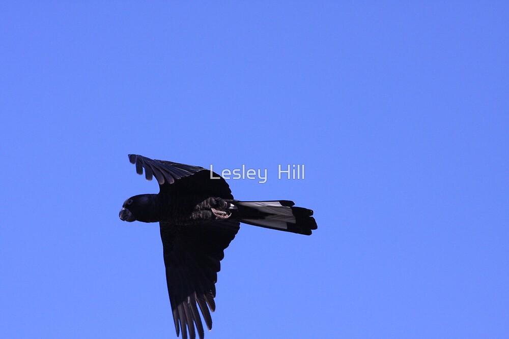 Black Parrot in Flight by Lesley  Hill