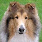 Collie Portrait by Jan  Wall