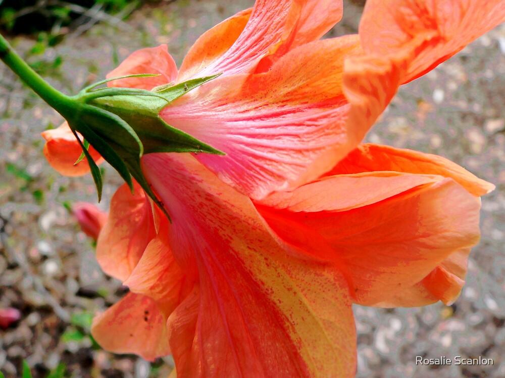 In Back of the Bloom by Rosalie Scanlon
