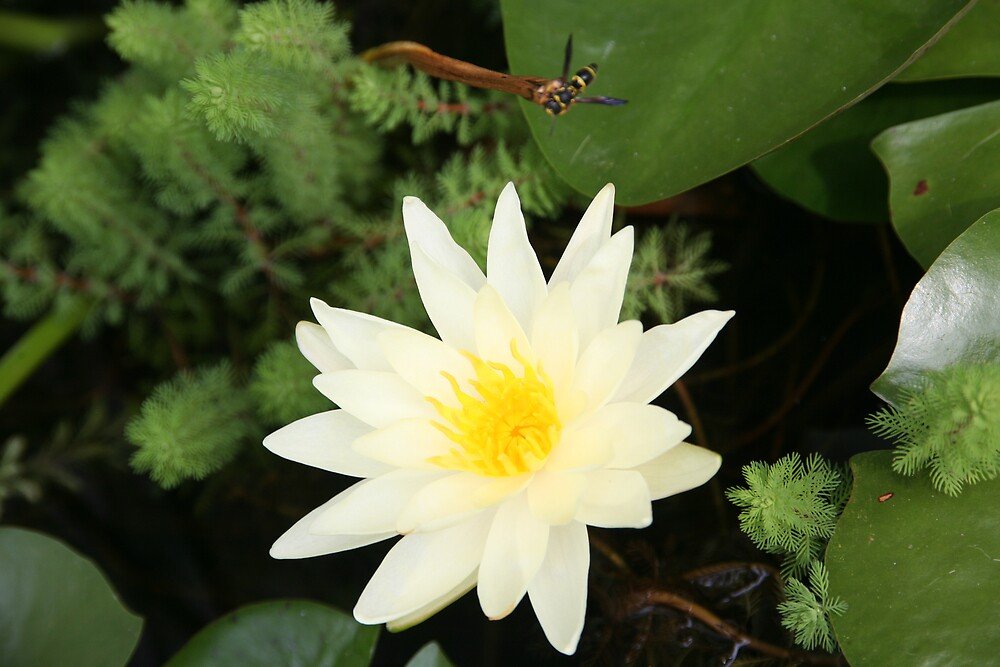 Water Lily and Insect by katw0man