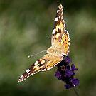Butterfly on Purple Flower by Lori Peters
