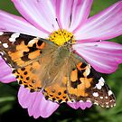 Butterfly on Pink Cosmos by Lori Peters