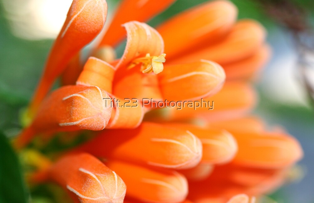Orange Flower by Tilt.23 Photography